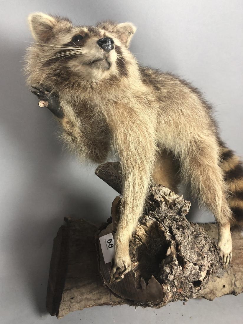 Full Body RACCOON Taxidermy Mount. Raccoon on tre - 2