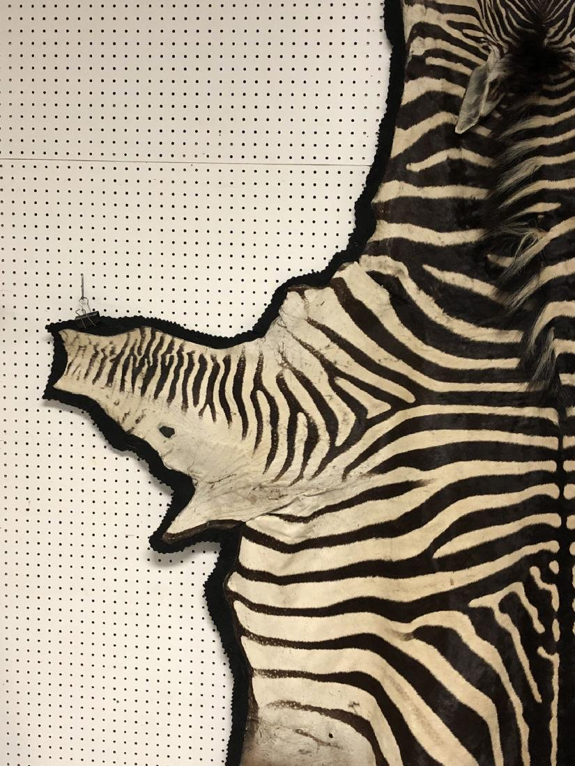 Genuine Zebra Skin Hide Rug. Complete head with 3 - 3