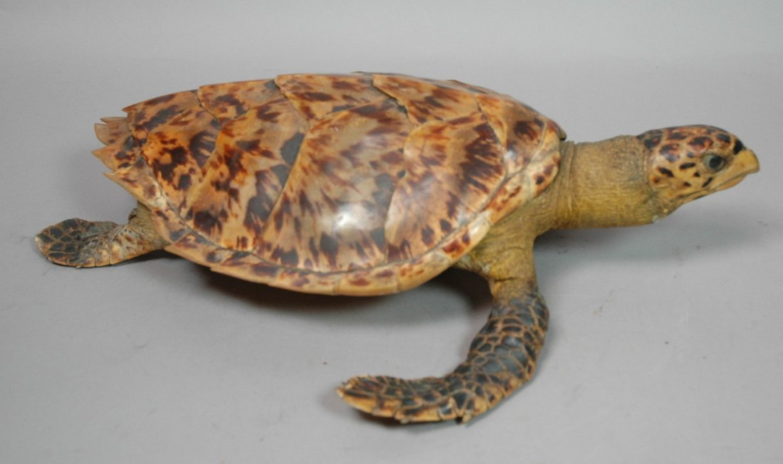 Vintage Taxidermy Turtle. Glass Eyes.