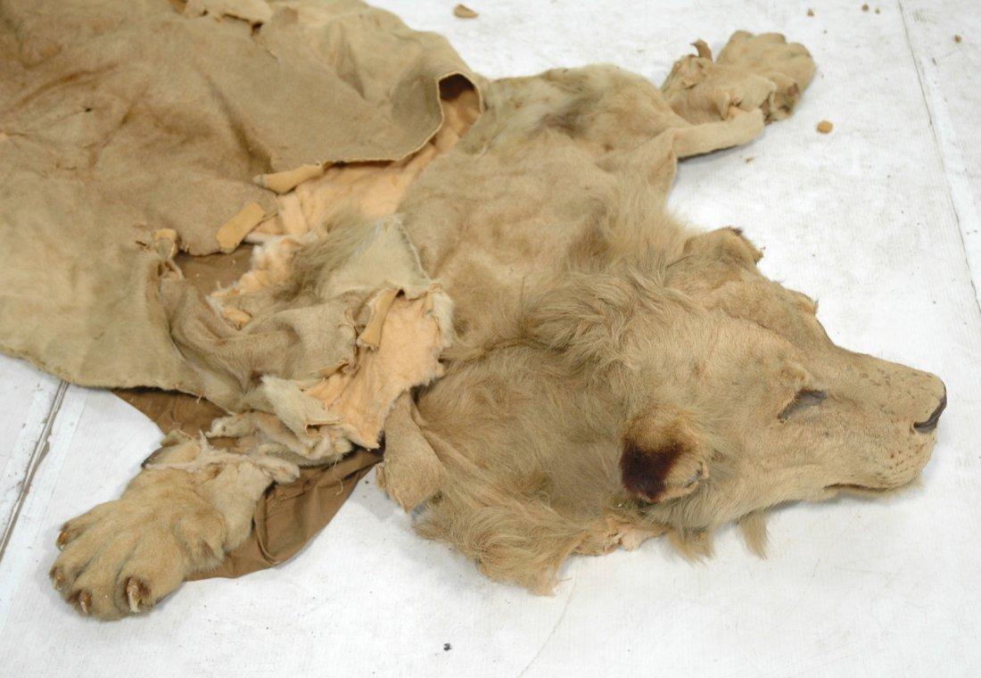 Full Body Lion Skin Rug. Full Head. Large Single