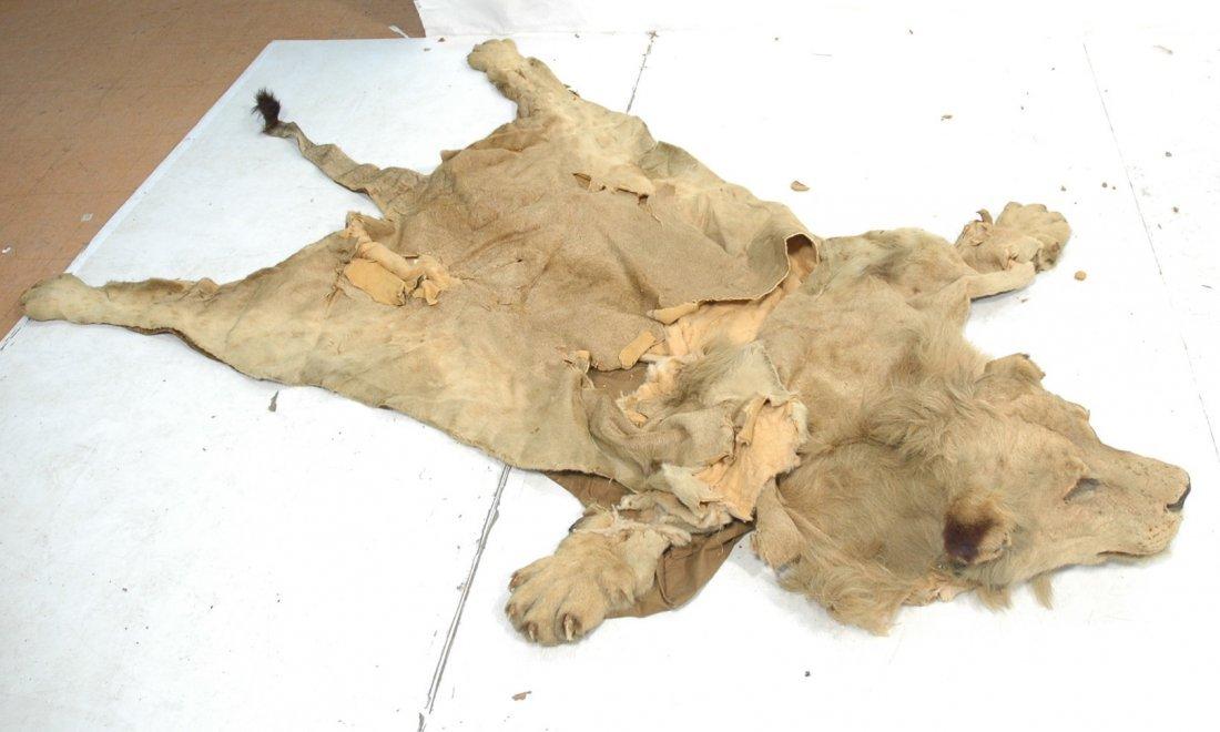 Full Body Lion Skin Rug. Full Head. Large Single - 2
