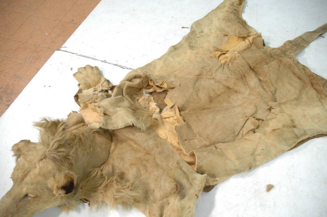 Full Body Lion Skin Rug. Full Head. Large Single - 3