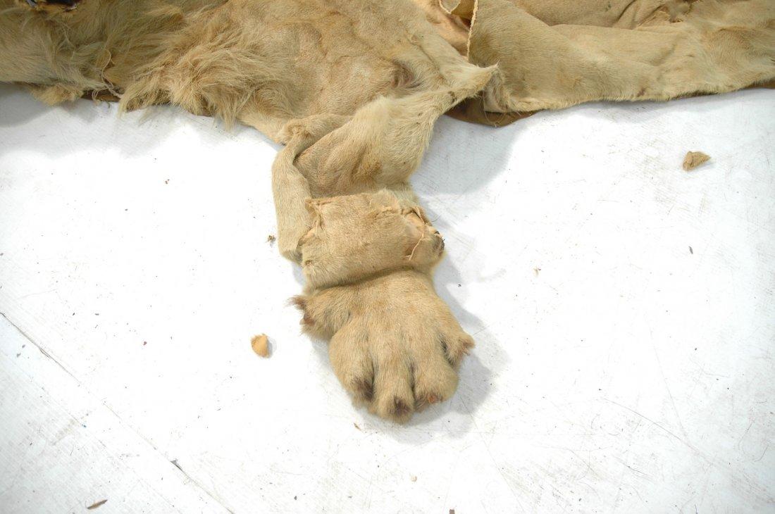 Full Body Lion Skin Rug. Full Head. Large Single - 4