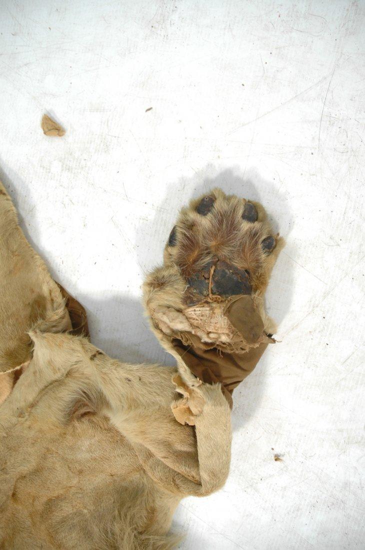 Full Body Lion Skin Rug. Full Head. Large Single - 5