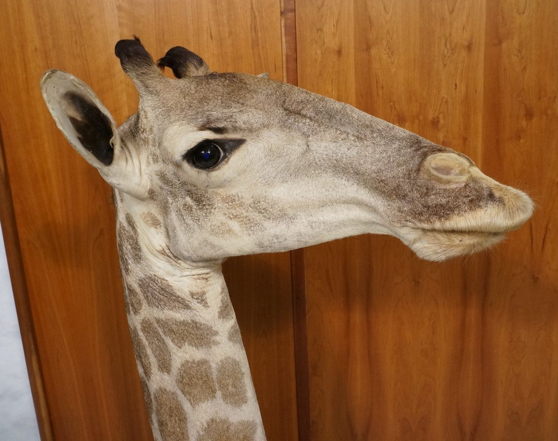 Giraffe Taxidermy Mount.  Head and Neck on wood B