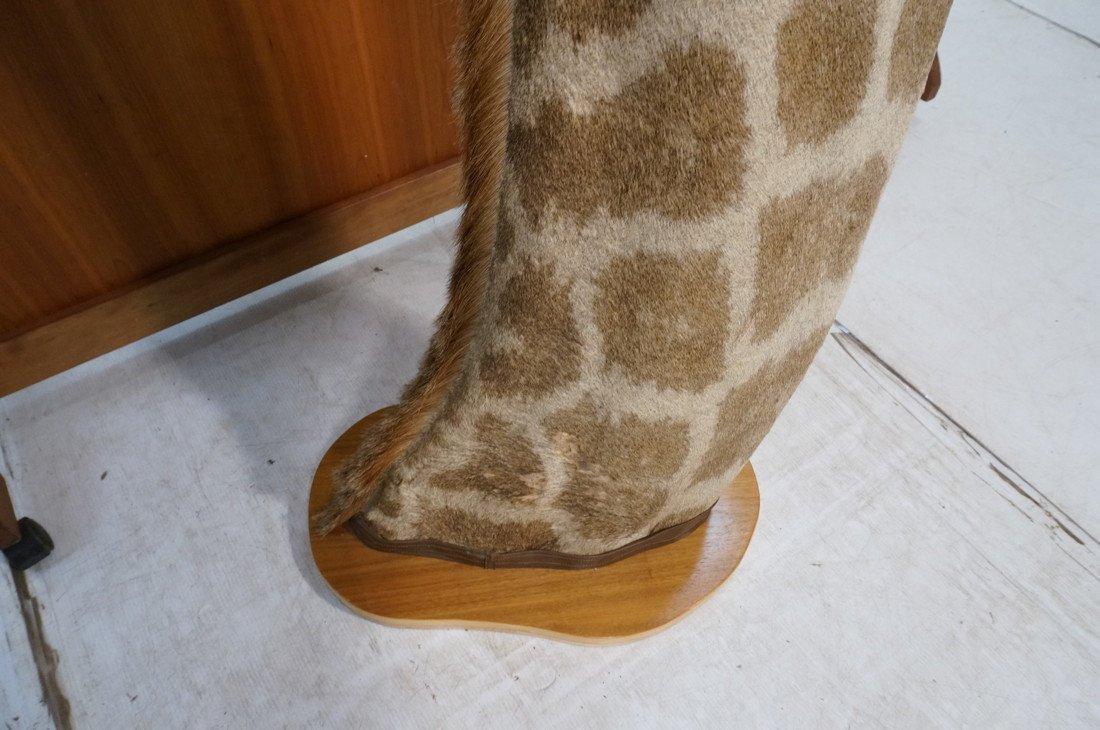Giraffe Taxidermy Mount.  Head and Neck on wood B - 4