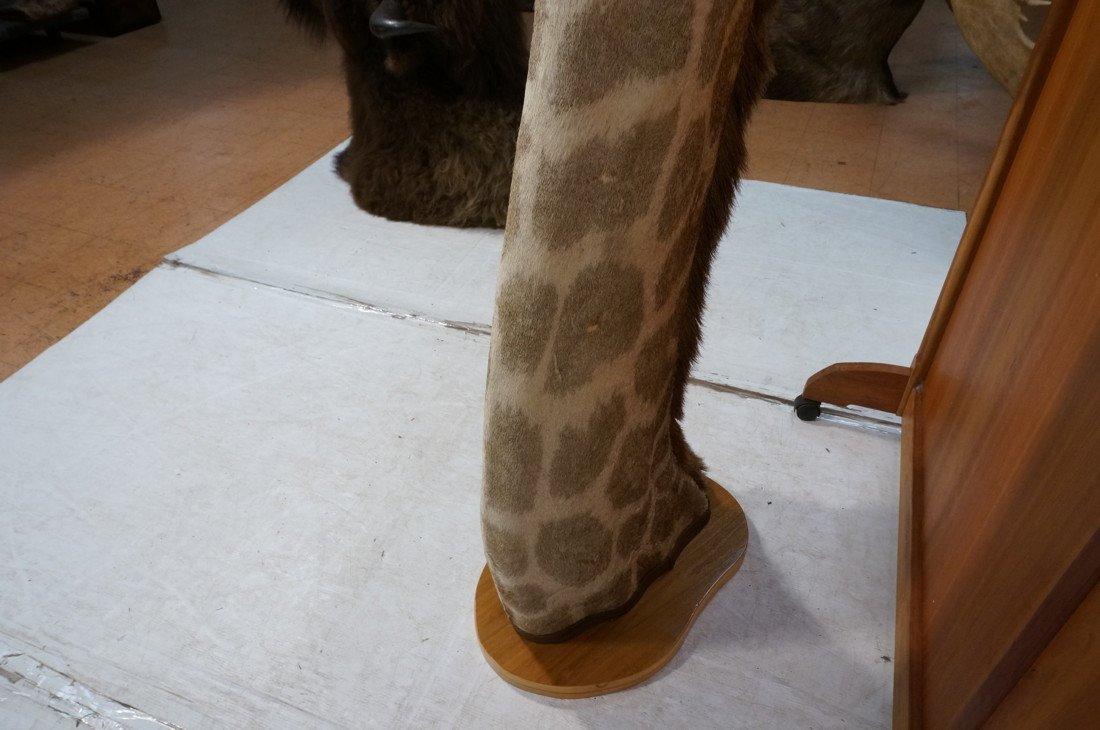 Giraffe Taxidermy Mount.  Head and Neck on wood B - 7