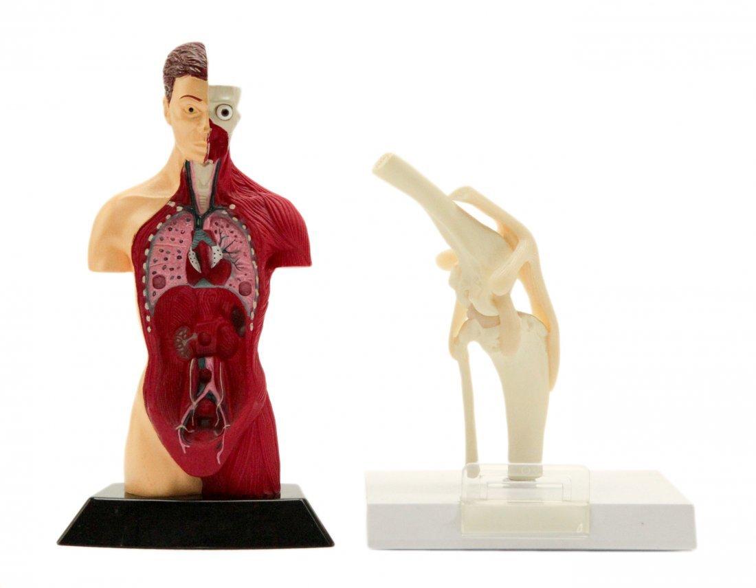 Two Anatomy Models
