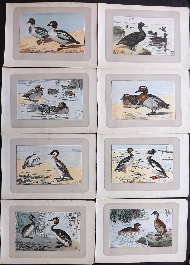 Mahler, P. 1907 Lot of 8 Bird Prints. Ducks