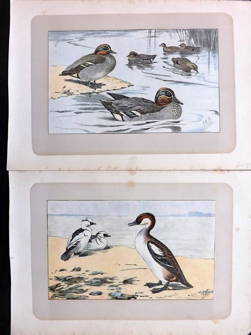 Mahler, P. 1907 Lot of 8 Bird Prints. Ducks - 2