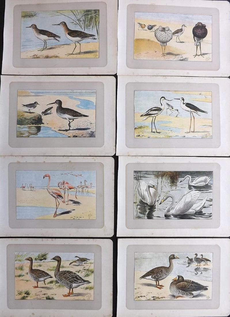 Mahler, P. 1907 Lot of 8 Bird Prints. Flamingo Swan etc