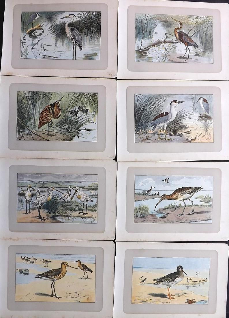 Mahler, P. 1907 Lot of 8 Antique Bird Prints. Heron etc