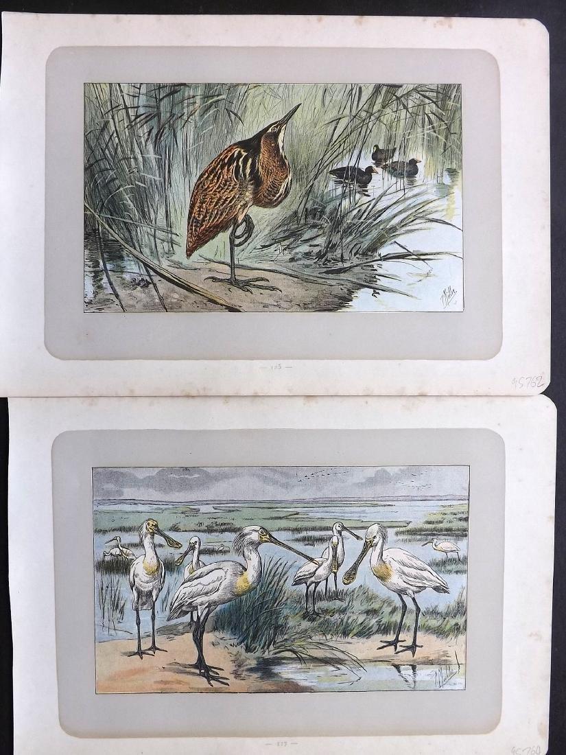 Mahler, P. 1907 Lot of 8 Antique Bird Prints. Heron etc - 2