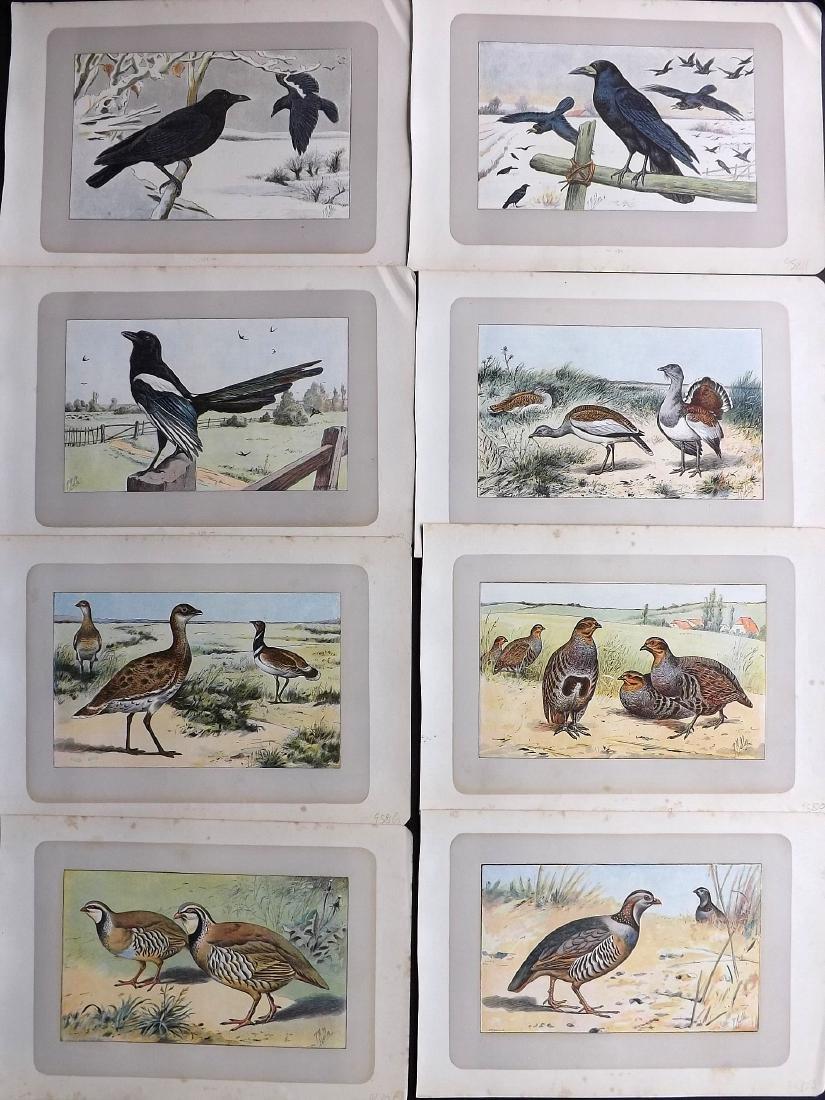 Mahler, P. 1907 Lot of 8 Bird Prints. Partridge etc
