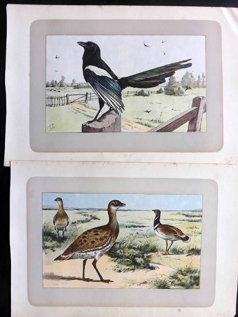 Mahler, P. 1907 Lot of 8 Bird Prints. Partridge etc - 2