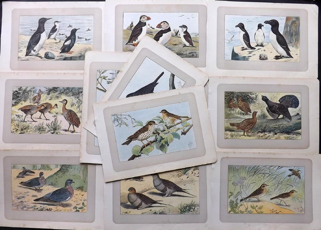 Mahler, P. 1907 Lot of 12 Antique Bird Prints. Puffin