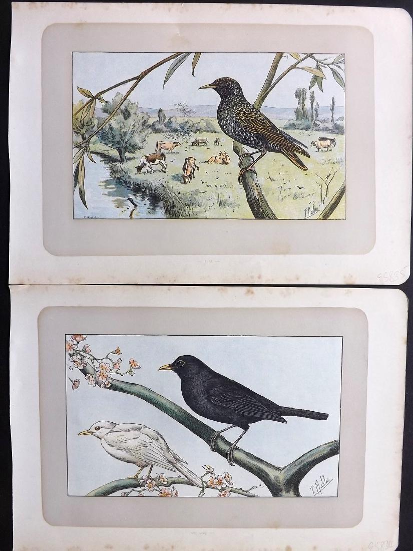 Mahler, P. 1907 Lot of 12 Antique Bird Prints. Puffin - 2