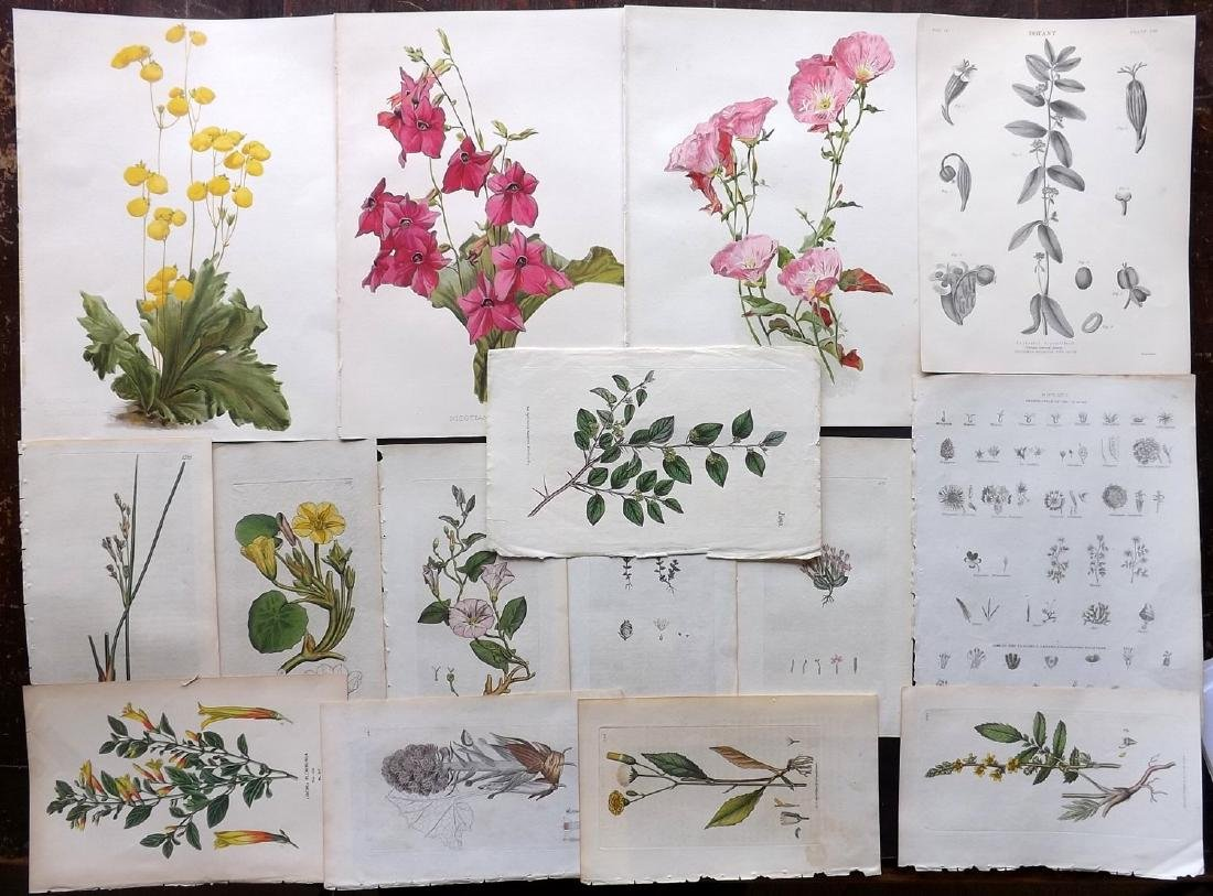 Botanical Prints 19th Century Lot of 15