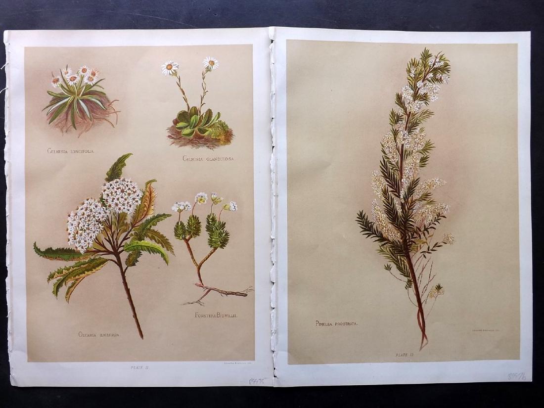 Hetley, Georgina 1888 Pair of New Zealand Botanicals