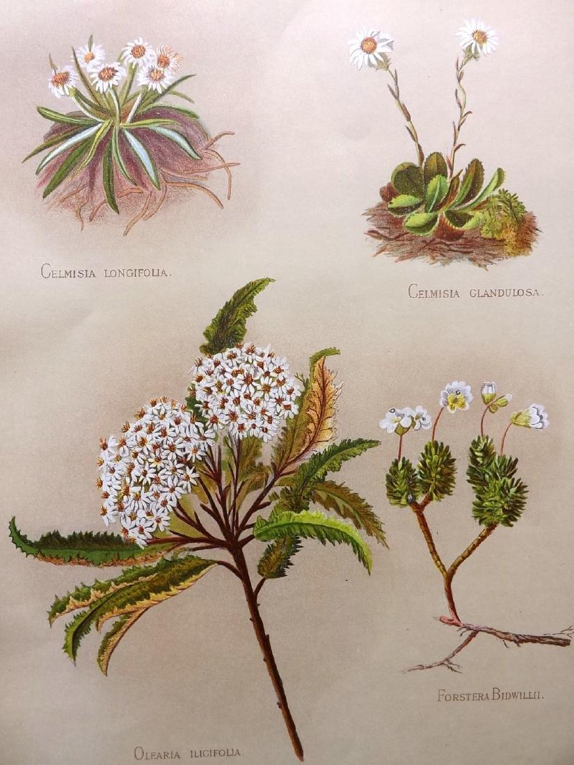 Hetley, Georgina 1888 Pair of New Zealand Botanicals - 2