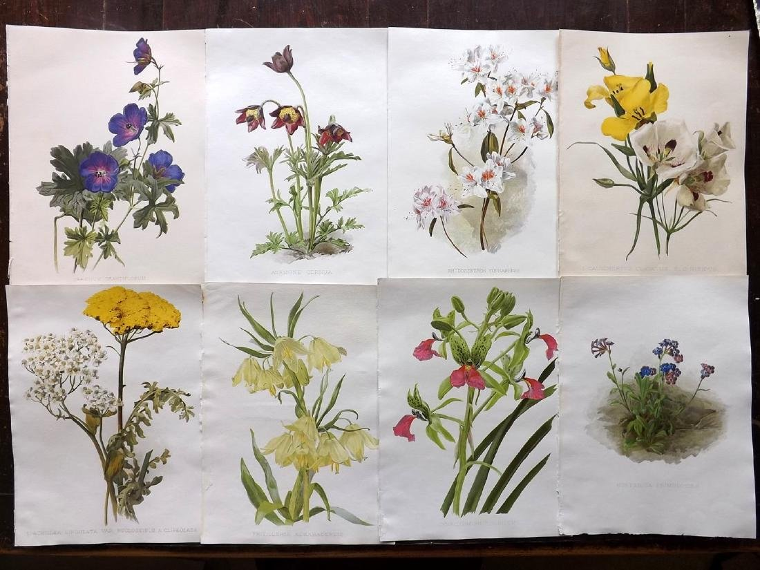 Moon, H. G 1903 Lot of 8 Botanical Prints. Geranium etc