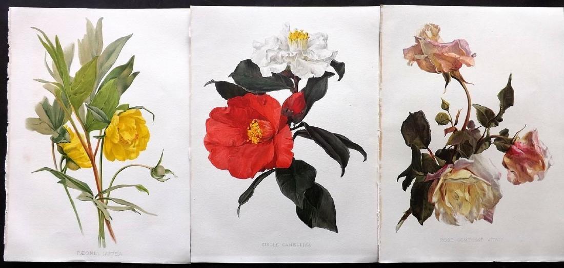 Moon, H. G. 1903 - 3 Botanicals. Rose, Peony, Camellias