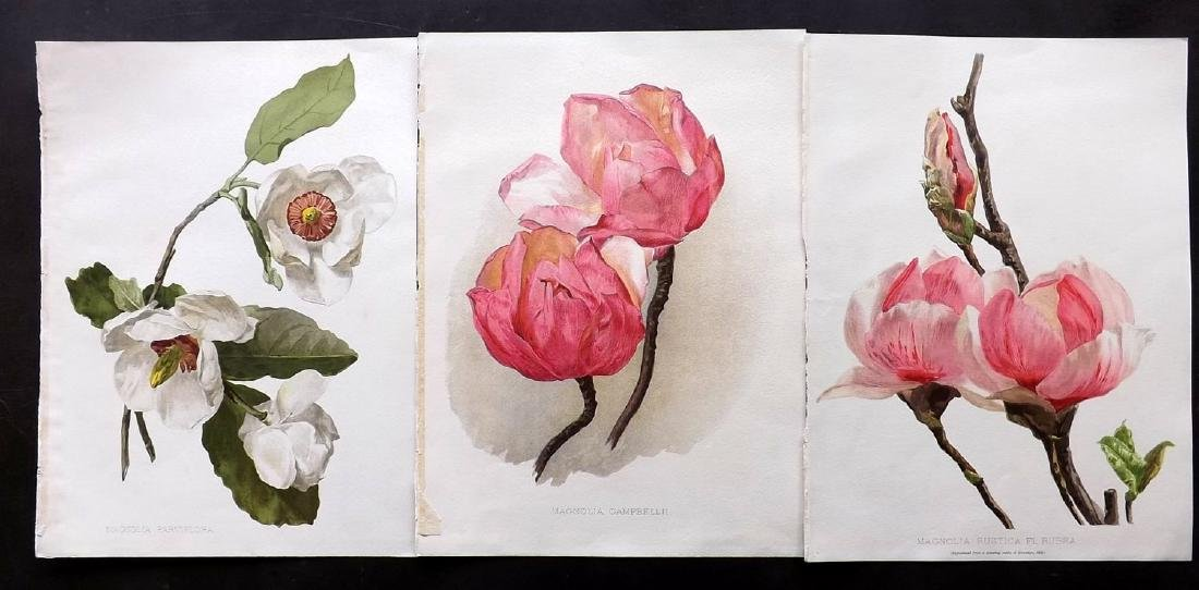 Moon, H. G. 1903 Group of 3 Botanical Prints. Magnolia