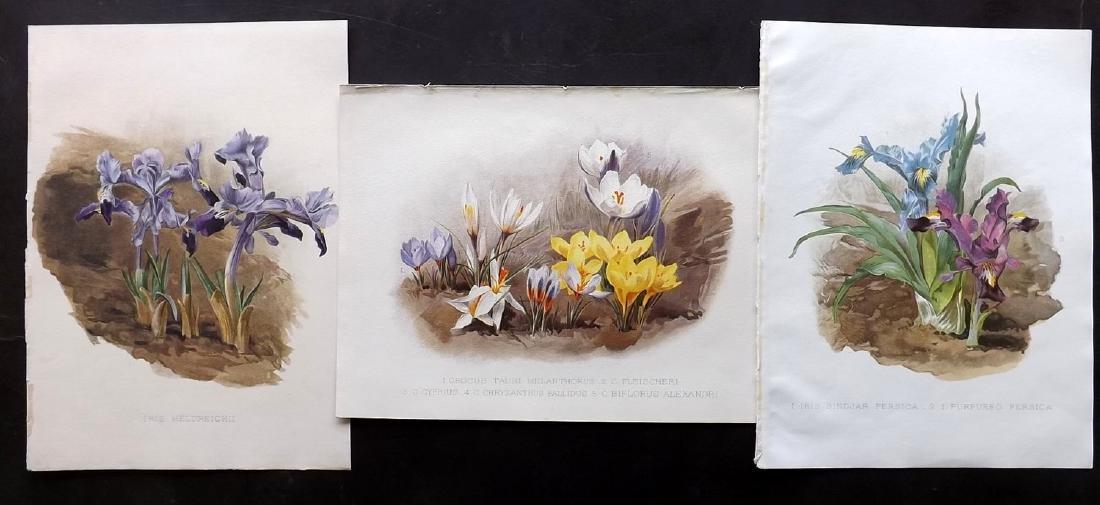 Moon, H. G. 1903 Group of 3 Botanicals. Iris, Crocus