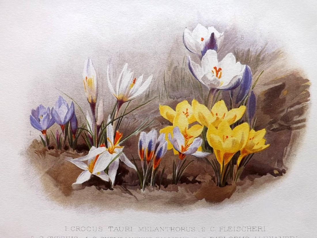 Moon, H. G. 1903 Group of 3 Botanicals. Iris, Crocus - 2