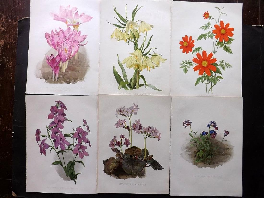 Moon, H. G. 1903 Group of 6 Botanical Prints. Colchicum