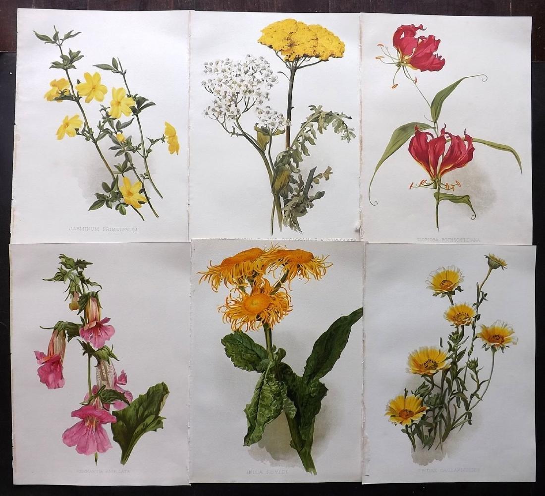 Moon, H. G. 1903 Group of 6 Botanical Prints. Jasmin