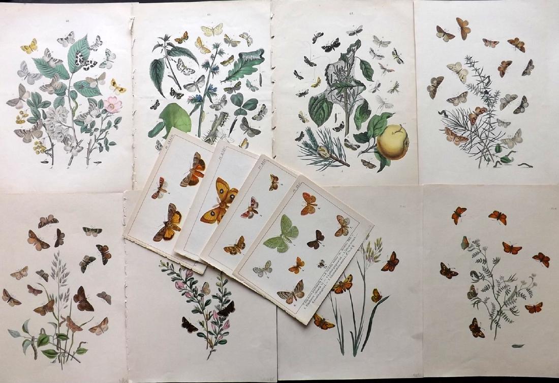 Butterflies & Moths 1849-1902 Lot of 12 Prints