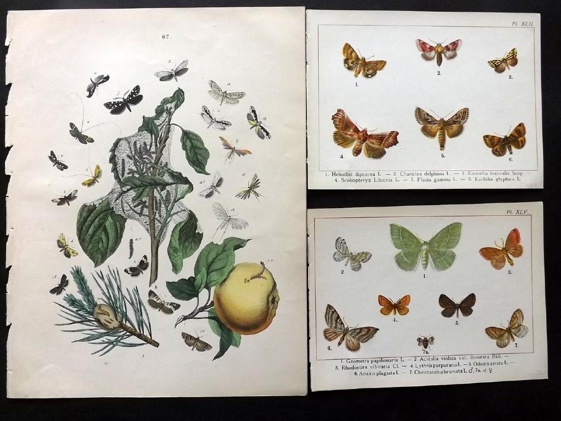 Butterflies & Moths 1849-1902 Lot of 12 Prints - 2