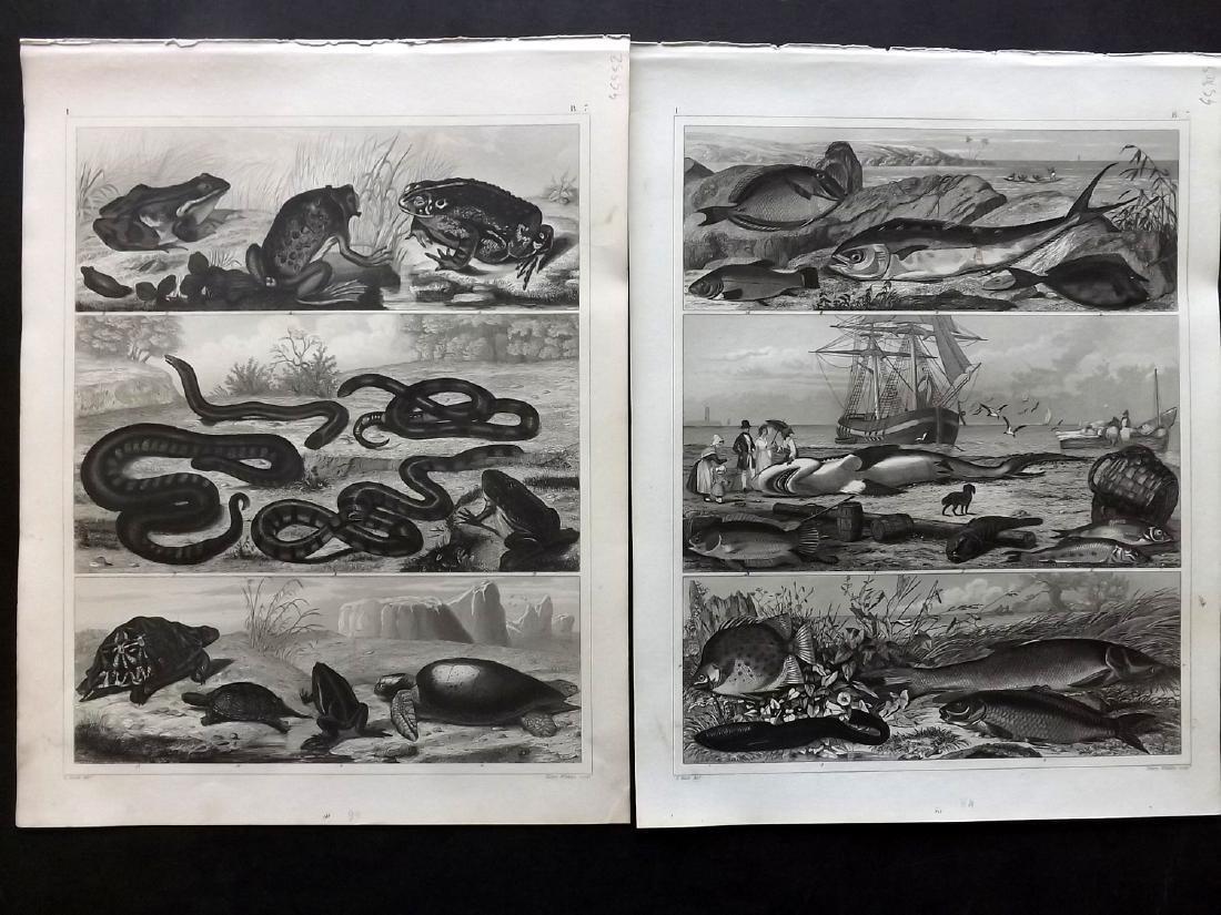 Heck, Johann Georg 1849 - 10 Natural History Prints - 2