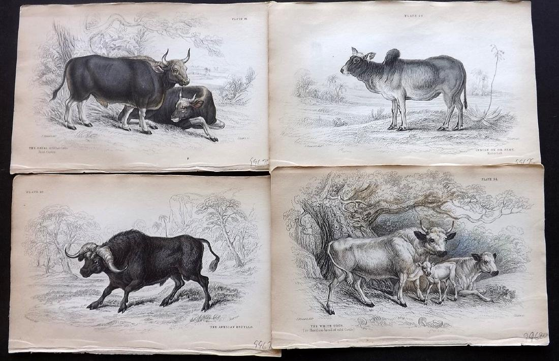 Jardine, William C1840 Group of 5 HC Cattle Prints