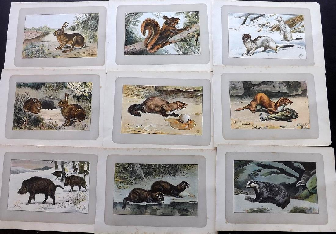 Mahler, P. 1907 Lot of 10 Prints. Rodents, Rabbits