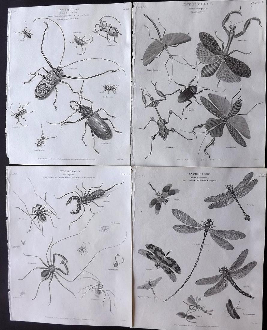 Rees, Abraham C1810 Group of 4 Insect Prints