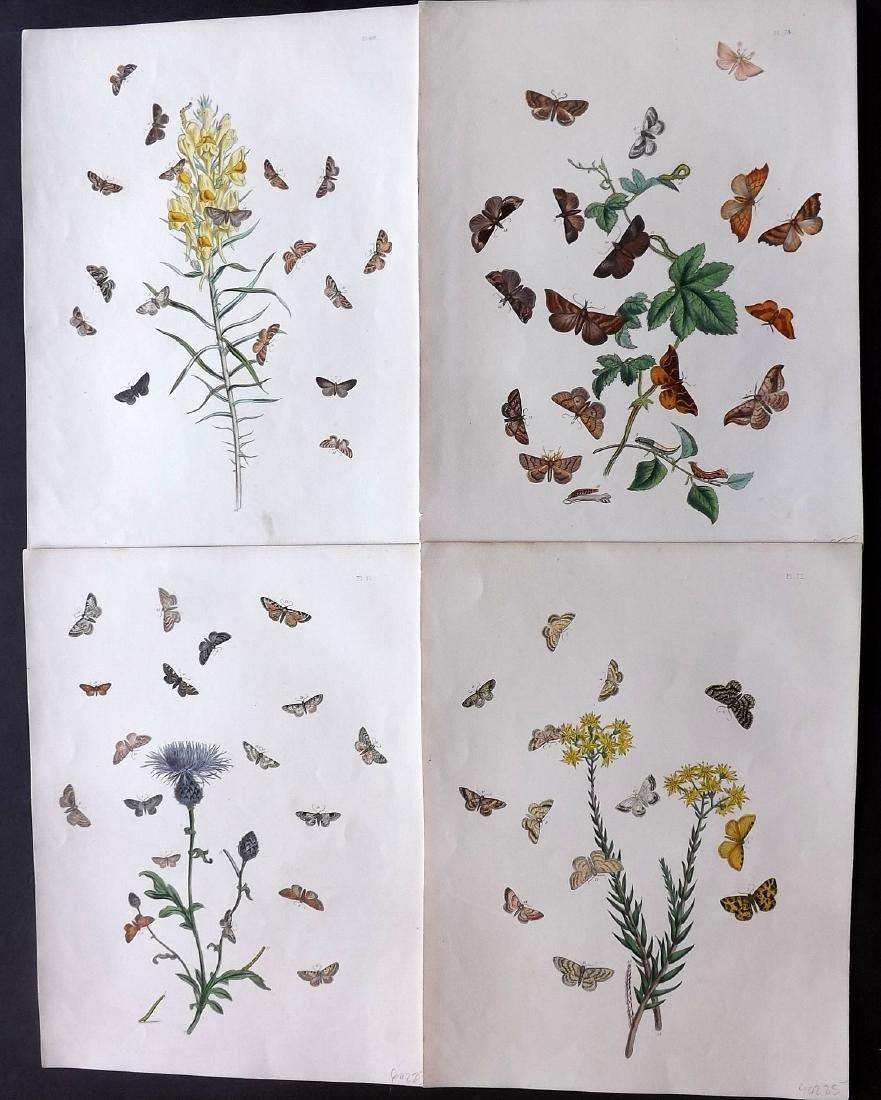 Westwood, John & Humphreys, Henry 1887 - 4 Moth Prints