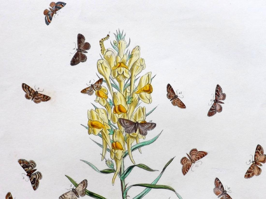 Westwood, John & Humphreys, Henry 1887 - 4 Moth Prints - 2