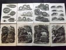 Rees Abraham C1810 Lot of 8 Natural History Prints