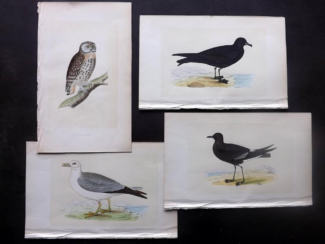 Morris, Francis Orpen 1862 Group 4 Bird Prints. Owl etc