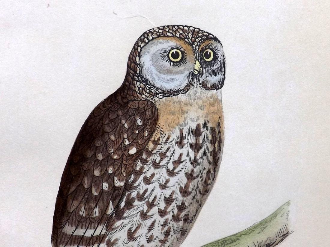 Morris, Francis Orpen 1862 Group 4 Bird Prints. Owl etc - 2