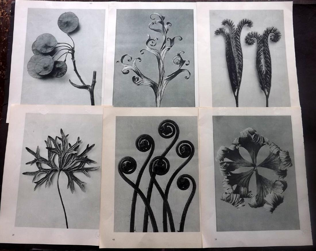 Blossfeldt, Karl 1941 Lot of 7 Botanical Prints
