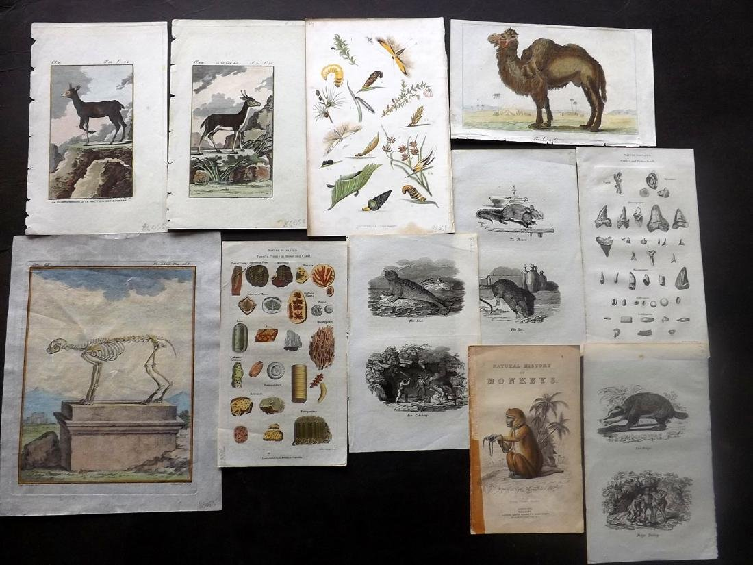 Natural History 18th-19thC Lot of 20 Prints. Mostly HC