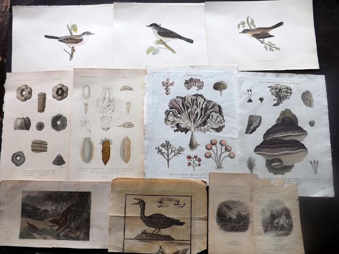 Natural History & Birds 19th Century Lot of 17 Prints