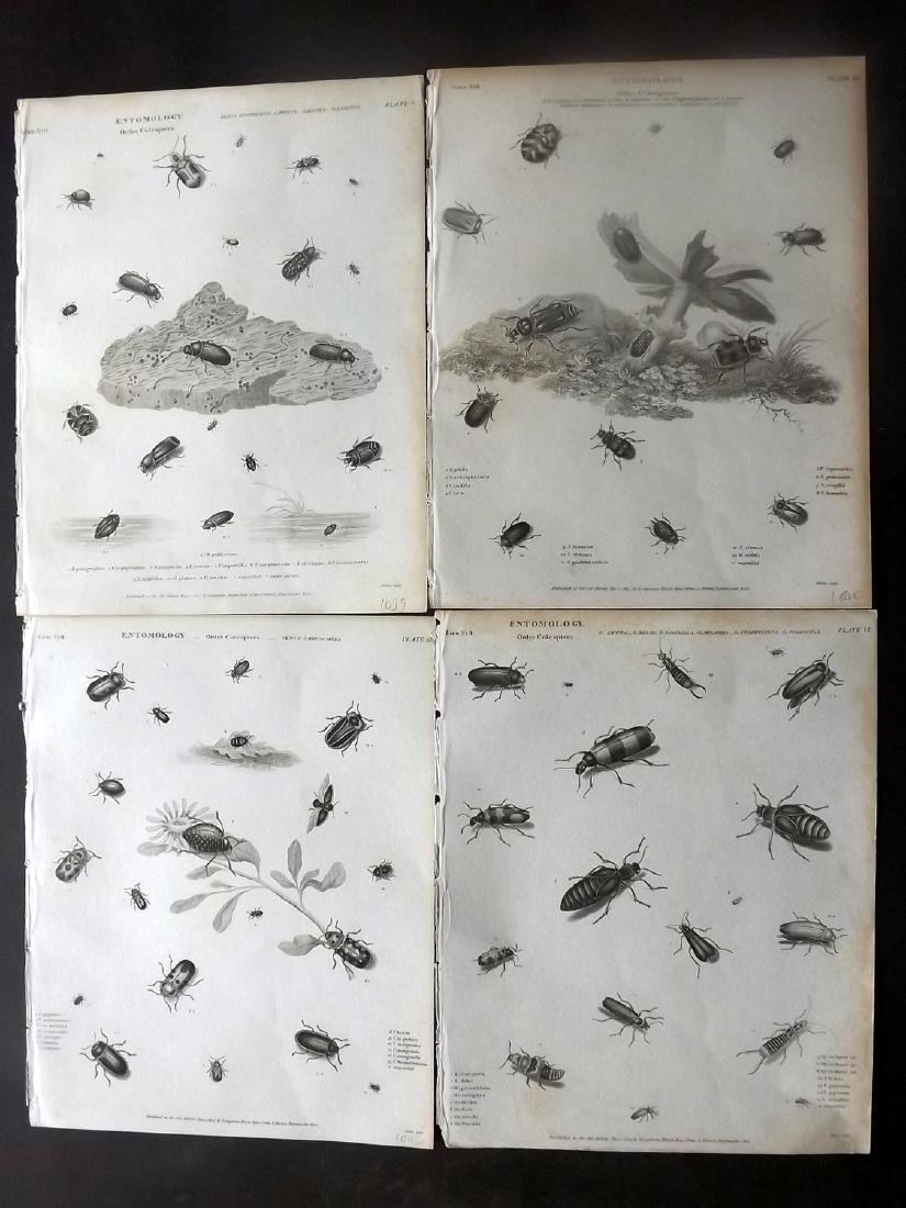 Rees, Abraham C1810 Group of 5 Prints of Insects