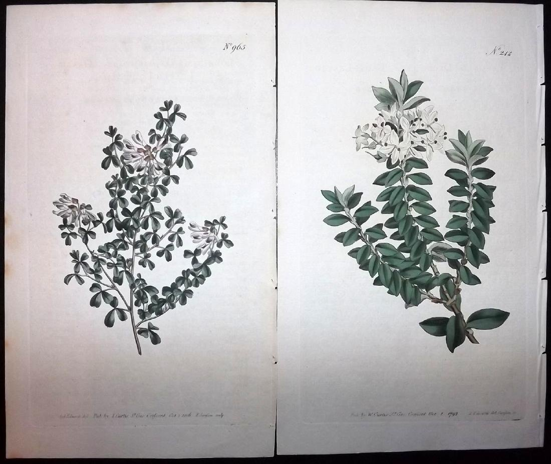 Curtis, William 1790's Lot of 11 HCol Botanical Prints - 2
