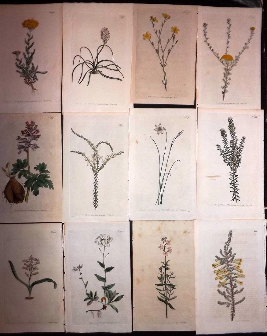 Curtis, William 1790's Lot of 12 HCol Botanical Prints