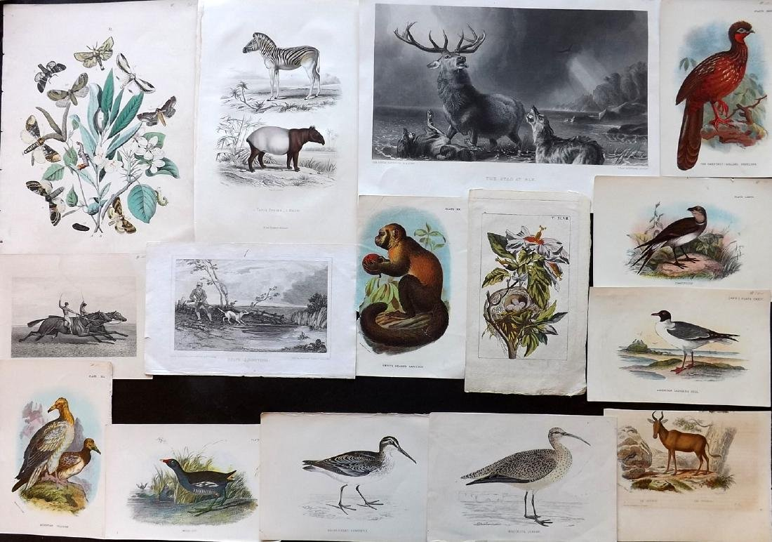 Natural History & Birds 19th Cent Lot of 16 Prints