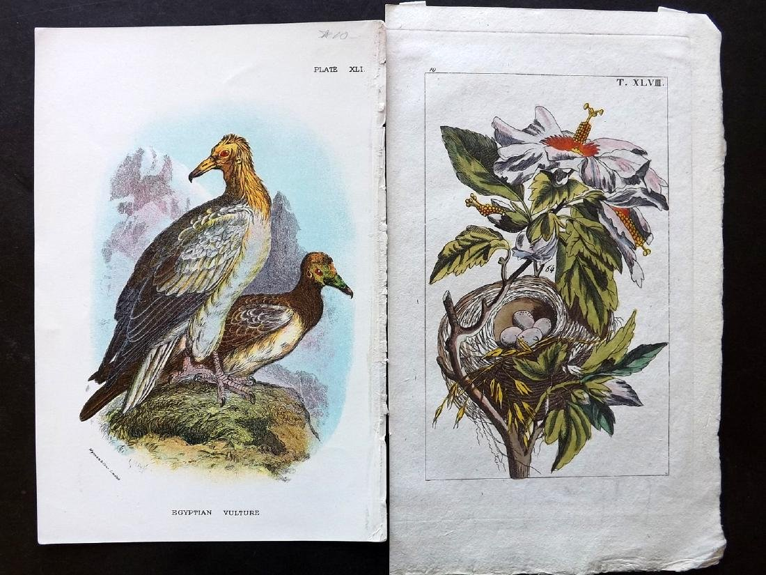Natural History & Birds 19th Cent Lot of 16 Prints - 3